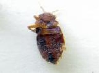 New York City Bed Bugs Wiki